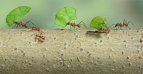 النمل ورقة Leafcutter تحمل أوراق المنزل