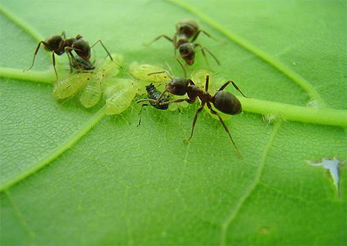 بعض عش النمل تعتمد اعتمادا كبيرا على حشرات المن.