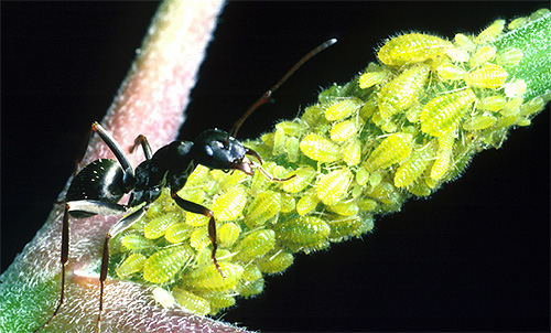 النمل حراس قطيع من القمل