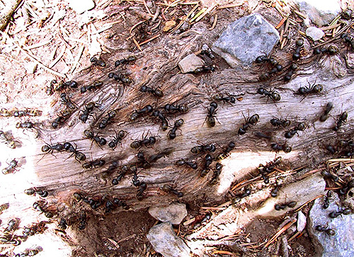 عدد النمل كبير لدرجة أن حوالي مليون من هذه الحشرات لكل شخص حي