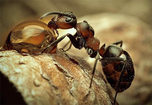 كل نوع من النمل مثير للاهتمام وفريد بطريقته الخاصة.