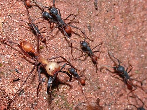 هنا عمود من الضالة (الرحل) يمكن للنمل تدمير كل شيء في طريقه