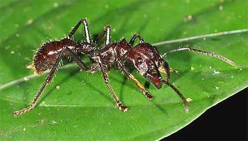 النمل رصاصة من بين أخطر في العالم