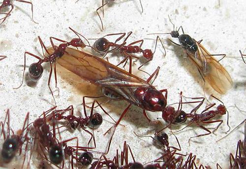 النوم مع النمل المجنح هو علامة سيئة