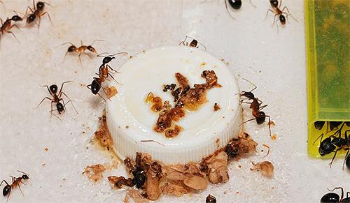 Ο αγώνας με τα οικιακά μυρμήγκια χρειάζεται ένα σύνθετο