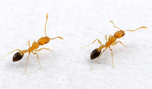 If ants are occasionally found in the house, it is helpful to take preventive measures.