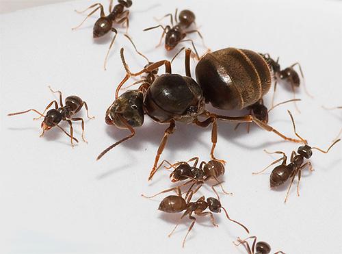 رحم النمل في المنزل هو قلب المستعمرة بأكملها