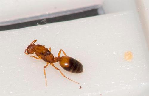 عادةً ما يكون جسم رحم النمل المنزلي بني داكن.