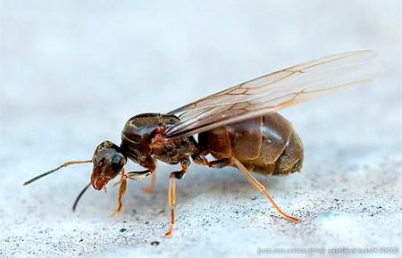 النمل المجنح الإناث المحلية