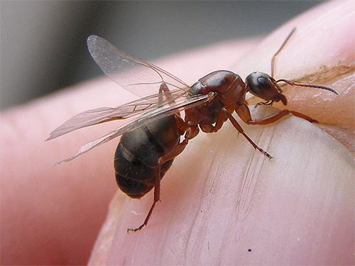 النمل المنزل لا تستخدم عادة الأجنحة