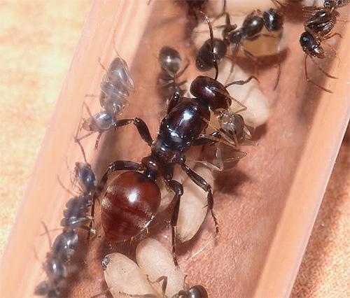 ملكة النمل محاطة بأفراد عاملين