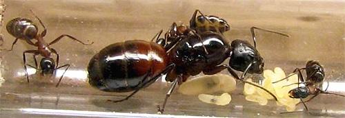 الرحم من النمل المنزلي بجانب البيض