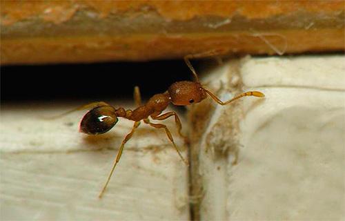 Αγωνιζόμαστε με μυρμήγκια παγίδων
