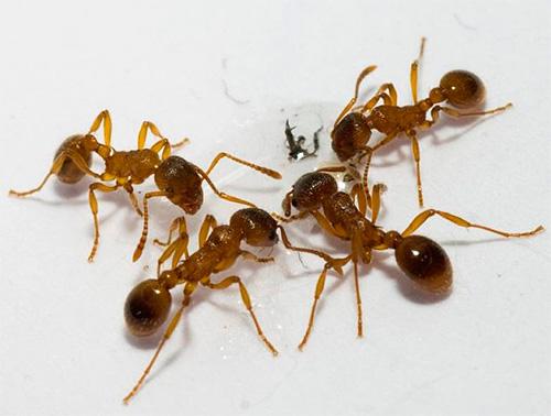 Η καλύτερη θέση παγίδευσης είναι τα μονοπάτια των μυρμηγκιών.