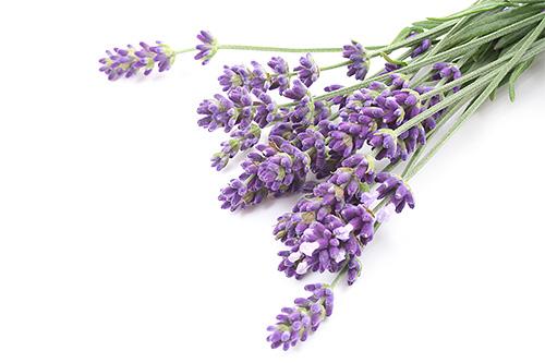 منذ فترة طويلة وقد استخدمت الزهور لافندر من قبل الناس كوسيلة لالعثة
