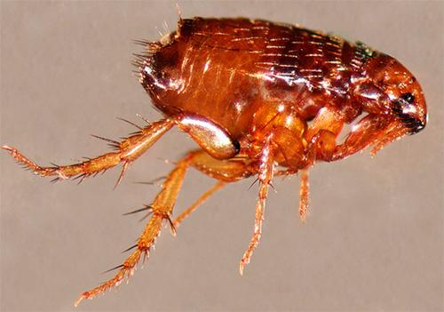قبل استخدام مبيد حشرة البرغوث الحشرات في الكلاب ، فمن المستحسن أن تنسحب