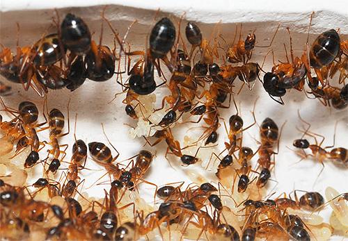 عش النمل المحلي: الصورة عن قرب