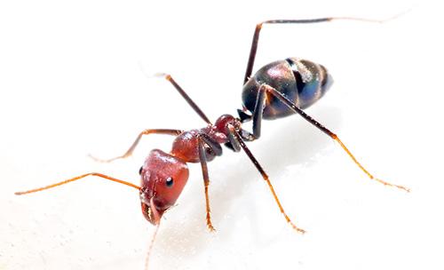 لمكافحة النمل المحلي بشكل فعال ، تحتاج إلى التعاون مع المستأجرين الآخرين