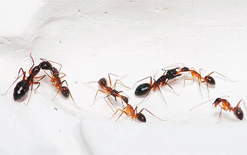 صورة أخرى للنمل المنزلي