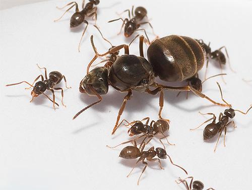 النمل المحلي والملكة