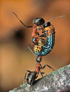 على الرغم من وزنه المنخفض ، فإن النمل قادر على رفع حمولة تصل إلى 50 ضعف كتلته.