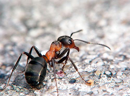 متوسط وزن النملة هو 1-150 ملليغرام