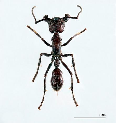 النمل رصاصة