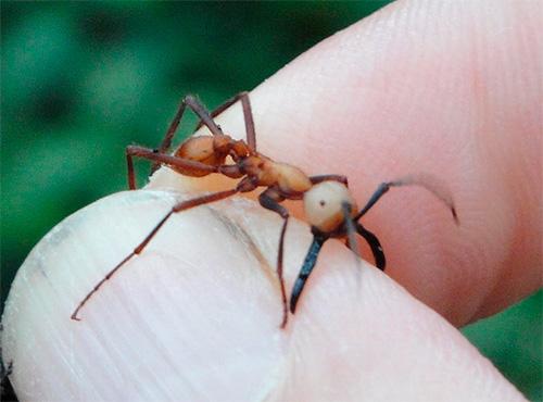 النمل الأفارقة البدو