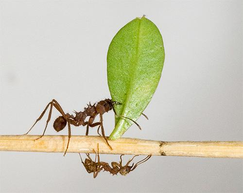 تعمل سلسلة أوراق النمل بسهولة على رفع البضائع التي تزن 100 ملغ