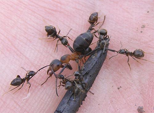 كلما كانت النملة أصغر ، كلما زادت قوتها ، وليس كتلة وحدة.