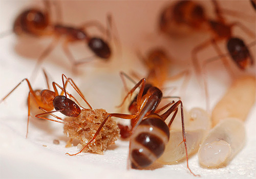 دعونا نرى كيف وماذا يمكن أن تدمر النمل المنزل في الشقة بشكل فعال
