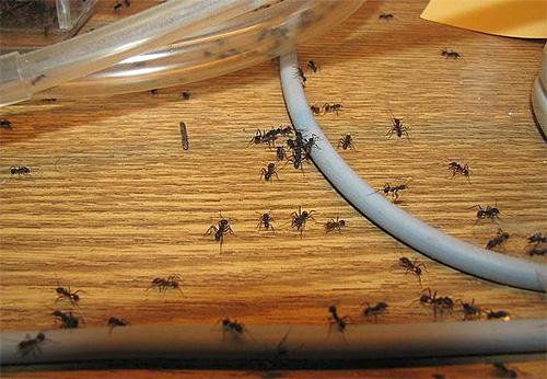 عند تدمير النمل ، يكون التناسق مهمًا للمقيمين