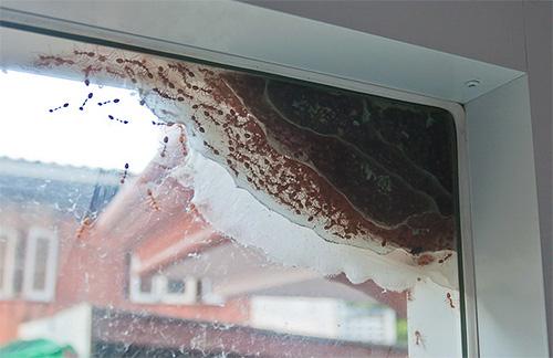 يمكن أن تقع النمل في الشقة وخارجها.