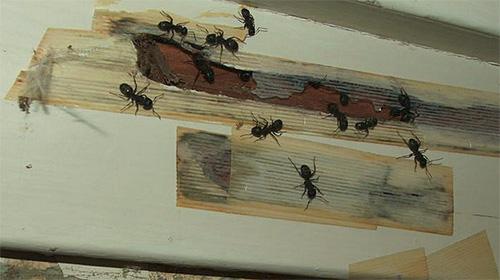 في شقة واحدة يمكن أن يكون هناك العديد من أعشاش النمل في نفس الوقت.
