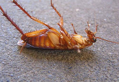 Boorzuur kan nog steeds werken op een kakkerlak, maar niet op insecten.
