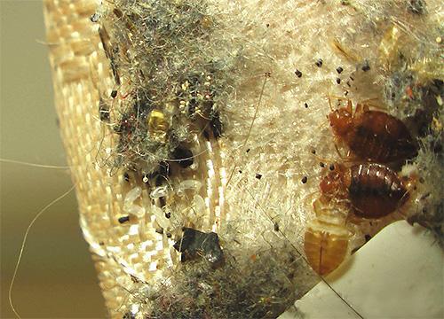 Als de eieren niet werden vernietigd tijdens de verwerking, verschijnen de bugs snel weer.