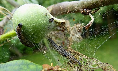 اليرقات من فراشة التفاح لن تعطي الفرصة لتنضج الثمار