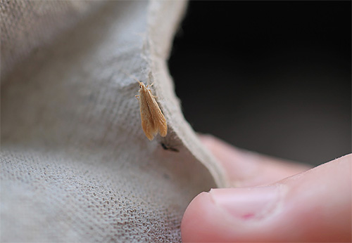 عثة الأثاث ، على نحو أدق ، يرقاتها ، قادرة على إطعام المواد شبه الاصطناعية