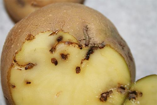 يرقات عثة البطاطس نخر من خلال الدرنات