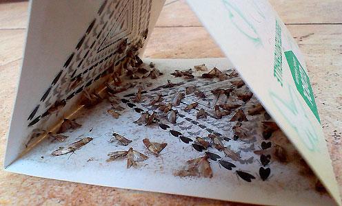 للسيطرة على الفراشات فراشة الطعام ، يمكن استخدام الفخاخ الخاصة.