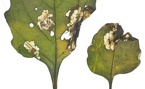 ตัวอ่อนแมงลักมันฝรั่งกินทั้งใบและหัวด้วยตัวเอง