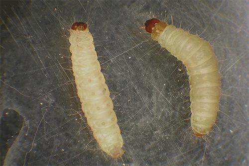 우리의 제품과 옷을 망칠 해충 인 나방의 유충 (나비는 아님)입니다.