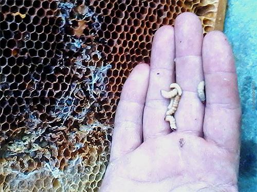 꿀벌 나방 애벌레