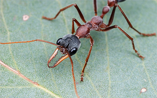 Ants Bulldogs - หนึ่งในแมลงที่อันตรายที่สุดในโลก