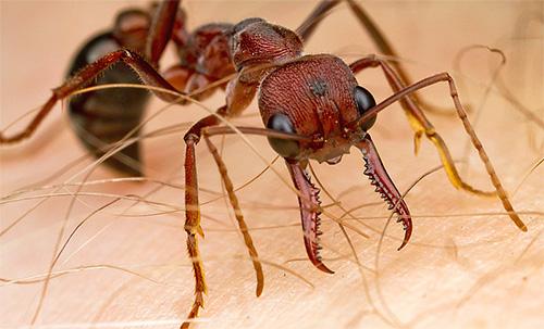 النمل بلدغ هي عدوانية جدا ، فإنها سحنة مؤلمة جدا ويعض بشدة