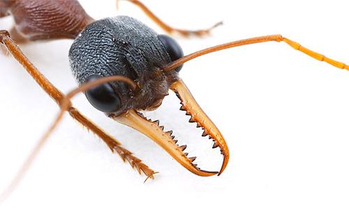 النمل بلدغ الرأس