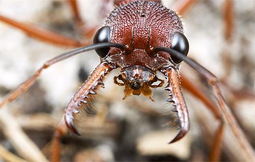 البلدغ النمل لديها فكي قوية