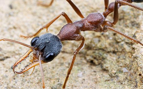 النملة بلدغ: الصورة المقربة
