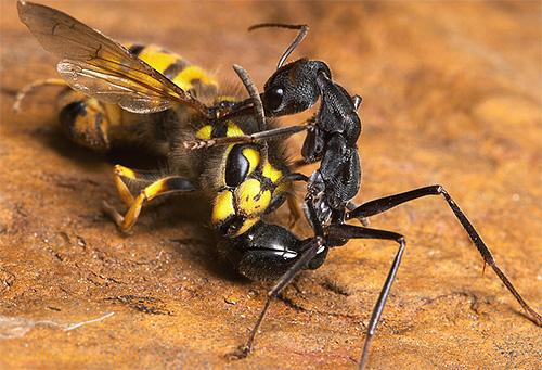 النمل بلدغ دون خوف سيسيطر على دبور
