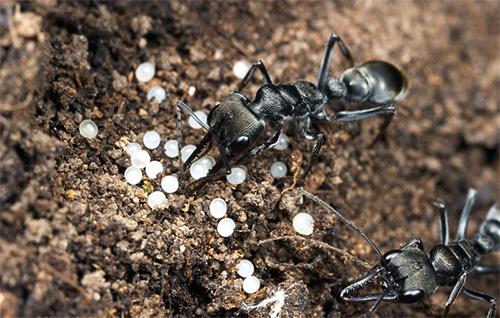 النمل يأكل البيض الغذائي في حالة نقص الغذاء.